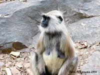 Black Faced Langur Monkey