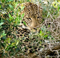 Leopard in Camoflage