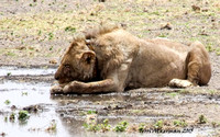 Nap at the Water Hole