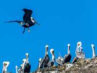 Pelicans on Seacliff