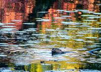 Beaver in Autumn Waves