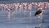 Pink Flamingos and Stork