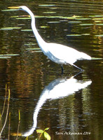 Egret Tall Reflection